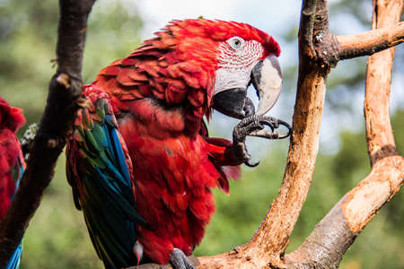 colorful big blue, red, green parrots in the tree Banque d'images - 154981035