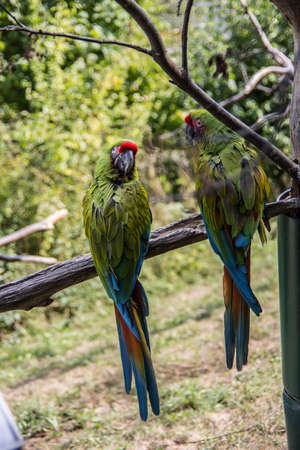 colorful big blue, red, green parrots in the tree Banque d'images - 154981036