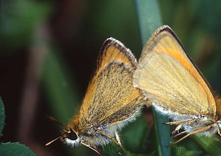 Thick-headed butterfly on stalk in copolation Banque d'images - 154981040