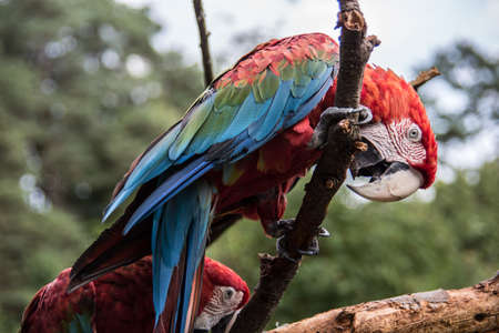 red blue green big parrots from south america Banque d'images - 154981042