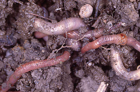 Earthworms in the damp earth