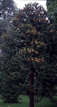 high andean fir in the park