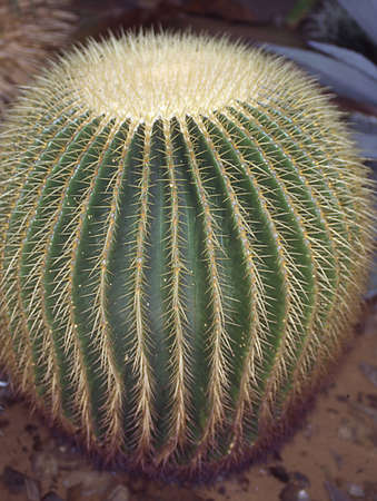 spherical cactus the mother-in-law seat Stock Photo