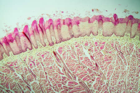 Tongue Tissue with taste buds across 100x