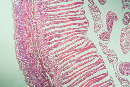 Earthworm histology cross section 10th segment 100x