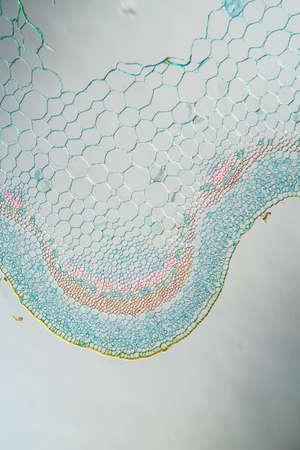 Ribwort stalk in cross section 100x