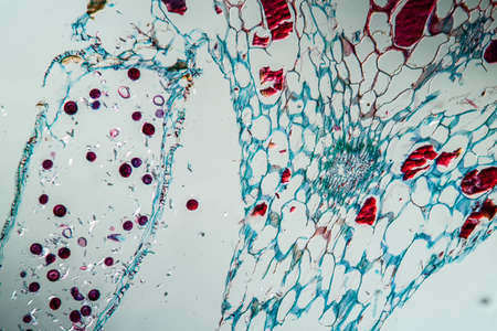 Horsetail sprout in cross section 100x Banque d'images
