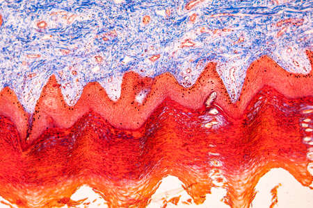 connective tissue rich in collagen under the microscope 100x Imagens