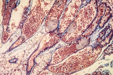 hermaphrodite gland tissue under the microscope 200x
