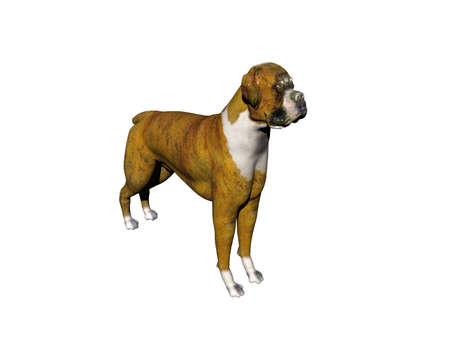 brown white pied bulldog