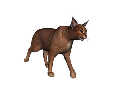 Wildcat strays and jumps around