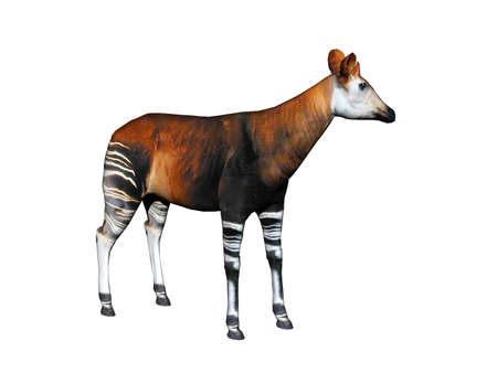 Okapi with striped legs in the steppe