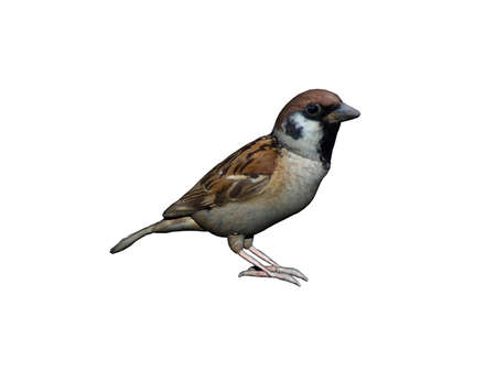 little sparrow crouches on the ground Stockfoto