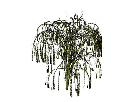 Weeping willow with hanging branches Stock Photo