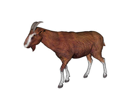 Goat foraging in the pasture