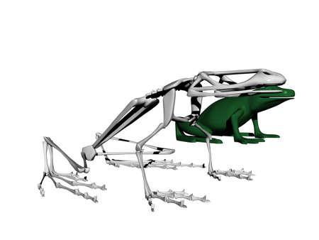 bony skeleton of a sitting frog