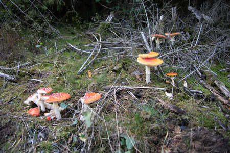 Beautiful group of toadstools in the autumn coniferous forest