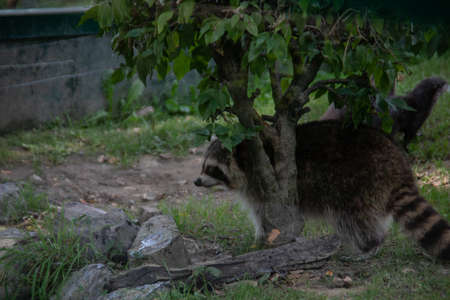 Raccoons sneak through the forest in search of food Stock fotó