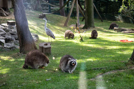 Raccoons sneak through the forest in search of food