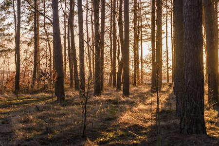 Sunshine In Autumn Forest. Sunlight Sunbeams Through Woods In Forest Landscape.