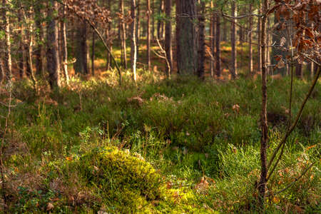 Golden morning sun rays on green forest grass. Beautiful nature background. Very shallow depth of field. Edit Now