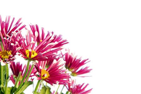 flores fucsia: Ramo de flores de color fucsia con p�talos finos en el fondo blanco