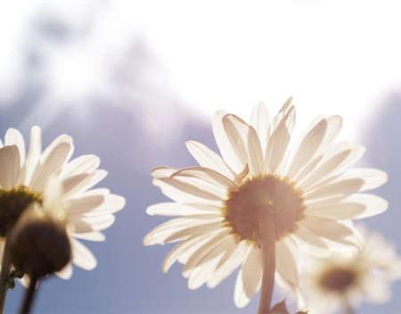 Beautiful daisies looking at  the sun  Stock Photo
