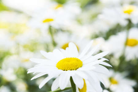 A beautiful field of daisies on a summer day