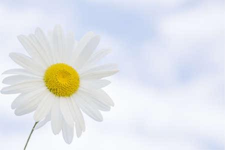 Beautiful daisy against blue sky background Stock Photo