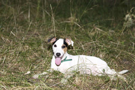Beautiful puppy of Jack Russel resting after a long run on the meadow