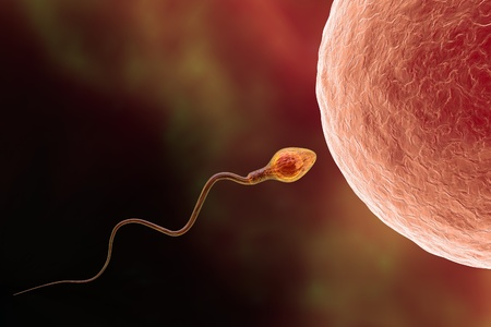 Fertilization. Insemination of human egg cell by sperm cell