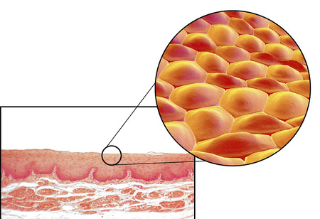 microscopical: Human cells, light micrograph and 3D illustration. Micrograph shows non-keratinized stratified squamous epithelium of esophagus Stock Photo