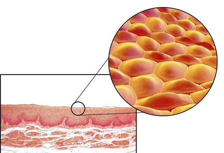 celulas humanas: Las células humanas, micrografía de luz e ilustración 3D. Micrografía muestra no queratinizado epitelio escamoso estratificado del esófago Foto de archivo