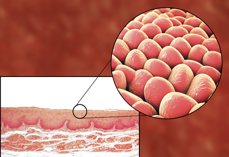 Human cells, light micrograph and 3D illustration. Micrograph shows non-keratinized stratified squamous epithelium of esophagus Stock Photo