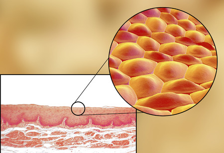 esophagus: Human cells, light micrograph and 3D illustration. Micrograph shows non-keratinized stratified squamous epithelium of esophagus Stock Photo