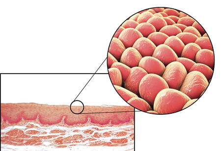 epithelial: Human cells, light micrograph and 3D illustration. Micrograph shows non-keratinized stratified squamous epithelium of esophagus Stock Photo