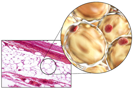 White adipose tissue, light micrograph and 3D illustration, hematoxilin and eosin staining, magnification 100x. Fat cells (adipocytes) have large lipid droplet which remains unstained