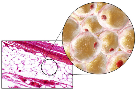 magnification: White adipose tissue, light micrograph and 3D illustration, hematoxilin and eosin staining, magnification 100x. Fat cells (adipocytes) have large lipid droplet which remains unstained