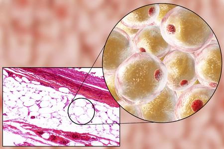 el tejido adiposo blanco, micrografía de luz e ilustración 3D, hematoxilina y eosina, 100 aumentos. Las células grasas (adipocitos) tienen grandes gotas de lípidos, que no se tiñe