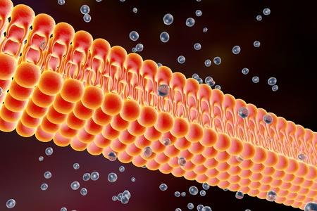 membrana cellulare: membrana cellulare, doppio strato lipidico, illustrazione 3D di una diffusione delle molecole di liquido attraverso la membrana cellulare Archivio Fotografico