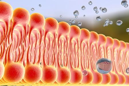 membrana celular, bicapa lipídica, 3d ilustración de una difusión de moléculas de líquido a través de la membrana celular Foto de archivo