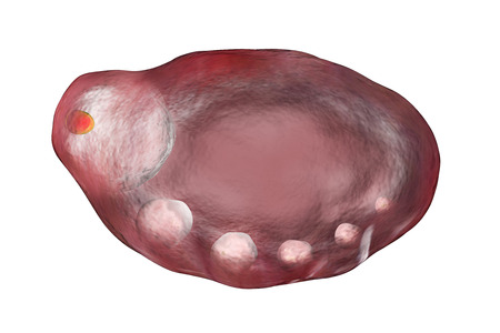 secondary: 3D illustration of an ovary showing primordial, primary and secondary follicules