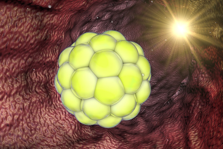 zygocyte: Early stage embryo in the reproductive tract, morula. Stem cell research. 3d illustration