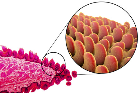 Tongue papillae, light micrograph and 3D illustration. Close-up view Stock Photo