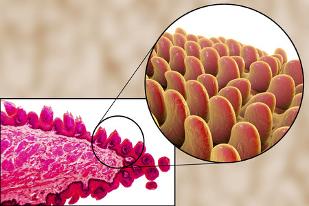 histology: Tongue papillae, light micrograph and 3D illustration. Close-up view Stock Photo