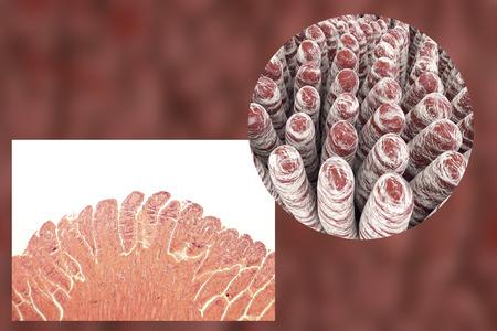 small intestinal villi: Villi of small intestine, light micrograph and 3D illustration