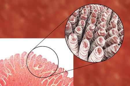 histology: Villi of small intestine, light micrograph and 3D illustration