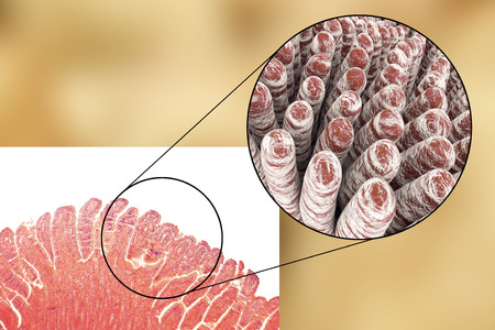 Villi van de dunne darm, licht microfoto en 3D illustratie Stockfoto