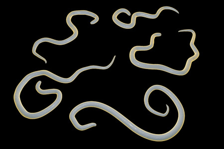 infestation: Helminths Toxocara canis dog roundworm, the cause of toxocariasis in man, an infestation transmitted from material contaminated by eggs in dogs feces. 3D illustration of a first larval stage