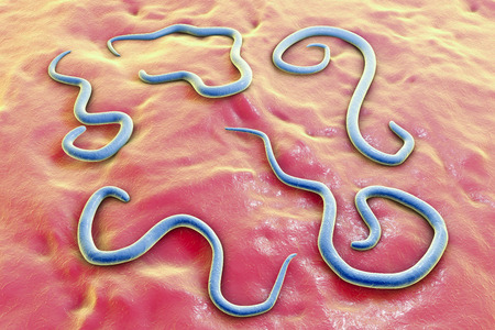 feces: Helminths Toxocara canis dog roundworm, the cause of toxocariasis in man, an infestation transmitted from material contaminated by eggs in dogs feces. 3D illustration of a first larval stage